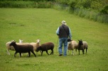 Jon herding sheep w the dogs