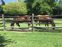 What carriage horses do when they are off duty