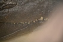 Crocodile - He was HUGE!