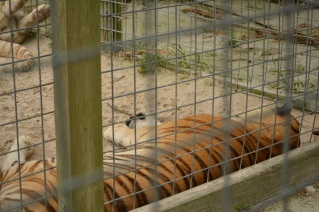 In a real zoo you would never get this close to a big cat like this unless there was glass between you and the cat!