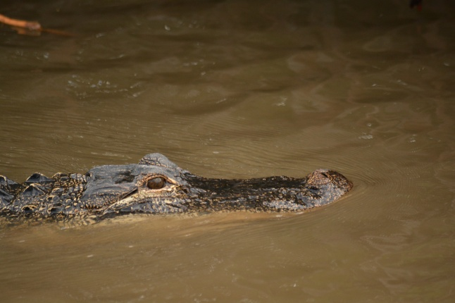 This is the gator that was close to my side of the boat on our tour.